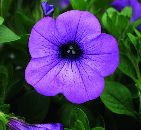 λουλούδι πετούνια