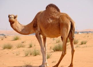 άχρηστη πληροφορία, Καμήλα,