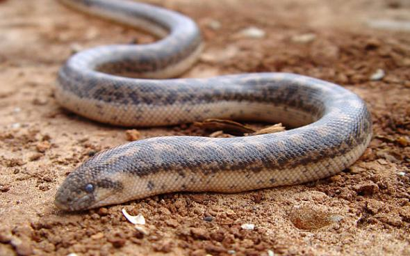 φίδια, μυρίζουν, γλώσσα,