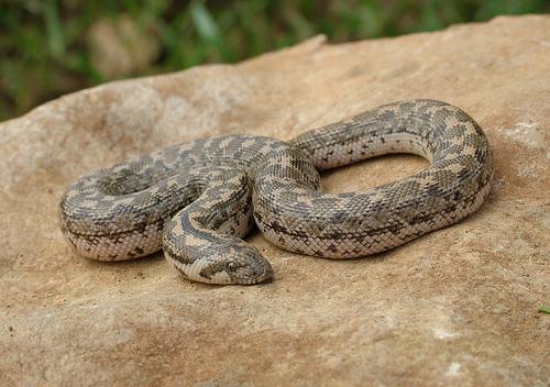 φίδια, μυρίζουν,γλώσσα,