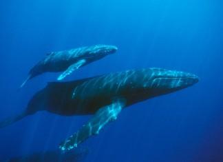 άχρηστη πληροφορία, μπλε φάλαινα, αορτή,
