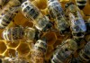 μέλισσες, εξαφάνιση, άνθρωπος,