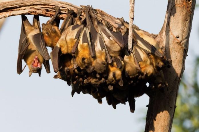 νυχτερίδες, θηλαστικά,