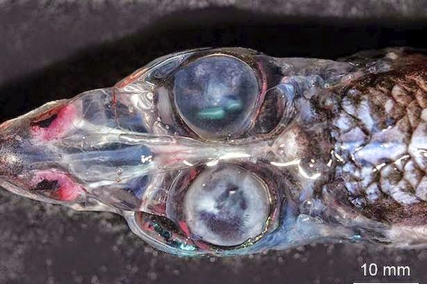 ψάρια, με 4 μάτια,