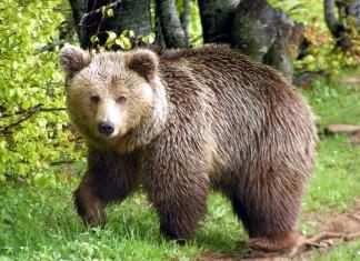 απαγόρευση, κυκλοφορίας, αρκούδα,