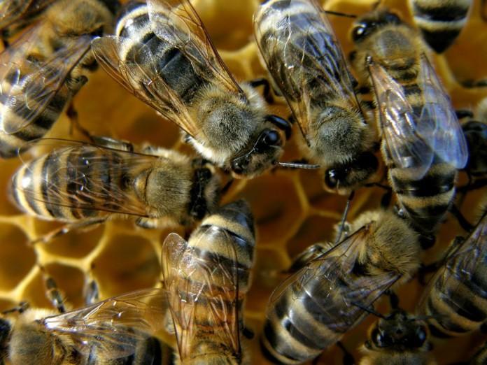μέλισσες, επικοινωνούν, μεταξύ τους,