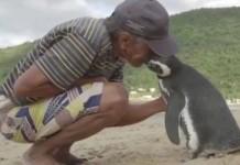 πιγκουίνος, επισκέπτεται, κάθε χρόνο, τον άνθρωπο, τον έσωσε,