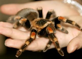 ταραντούλα, αράχνη, δεν υφαίνει ιστό,