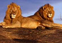 ΑΝΕΚΔΟΤΟ, λιοντάρι, λαγός,