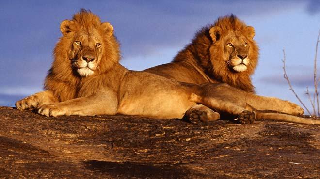 άχρηστη πληροφορία, λιοντάρια, ζευγάρωμα,