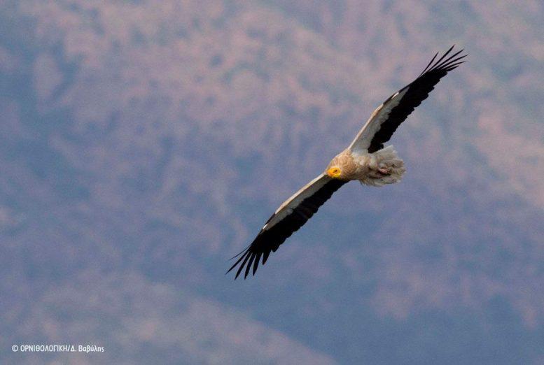 Ασπροπάρης, πουλί, Μετέωρα,