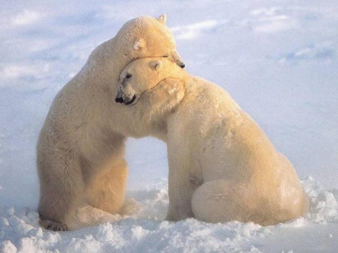 άχρηστη πληροφορία, πολική αρκούδα, Φώκια,