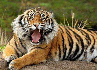 Ολλανδία, τίγρεις, δραπέτευσαν,