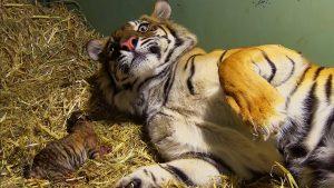 τιγρης