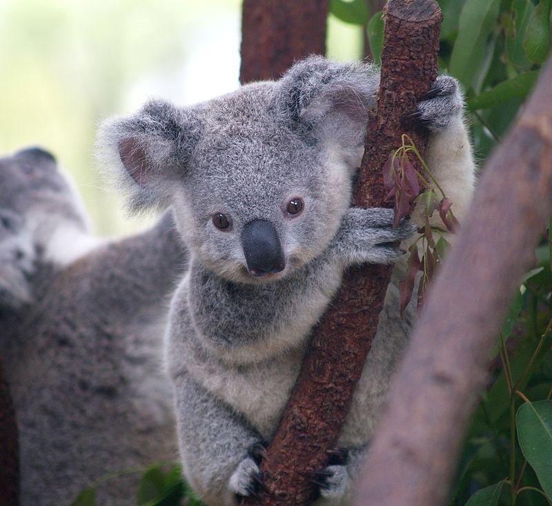 κοάλα, αυστραλιανό, αρκούδα, έξυπνο,