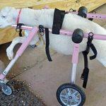 λίλη, αρνάκη,αναπηρική καρέκλα