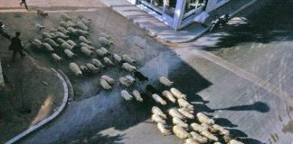 Συνδέουν τη σκλήρυνση κατά πλάκας με τα πρόβατα