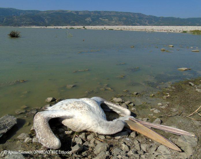 Ελληνική Ορνιθολογική Εταιρεία, λίμνη Κάρλα, νεκρά πουλιά,