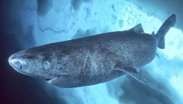 καρχαρίες, Γροιλανδία, 400 χρόνια,