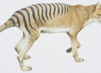 Αυστραλία, εξαφανισμένο είδος, τίγρης,