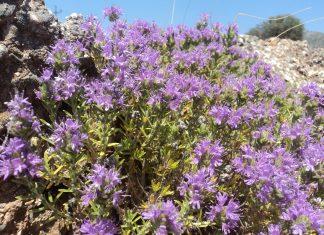 Καρκίνος του παχέος εντέρου: Ελληνικό βότανο κάνει… θαύματα!