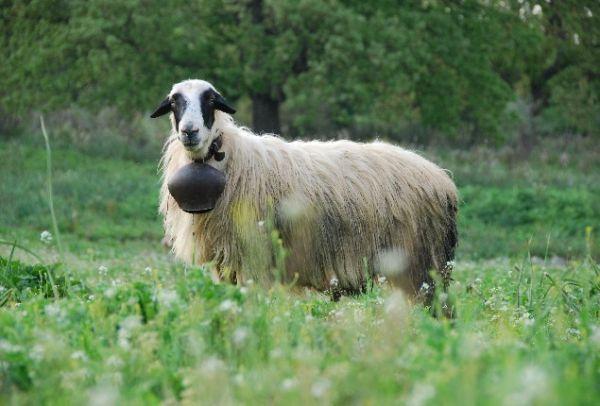 Τρίκαλα: Δεκάδες πρόβατα νεκρά από κεραυνό