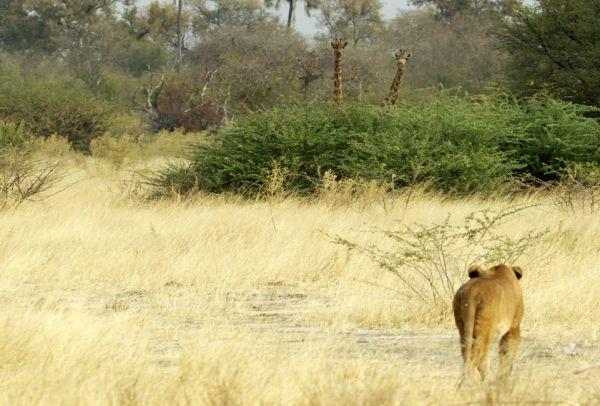 ΝΑΜΙΜΠΙΑ: Η κυβέρνηση πουλάει άγρια ζώα για να τα σώσει από την ξηρασία