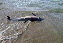 Λουτράκι, νεκρό, δελφίνι,