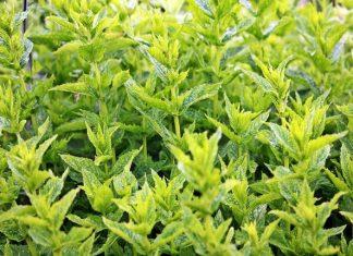 καλλιέργεια, αρωματικά φυτά, λάθη,