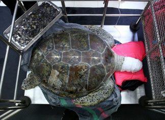 χελώνα, μικρός θησαυρός,