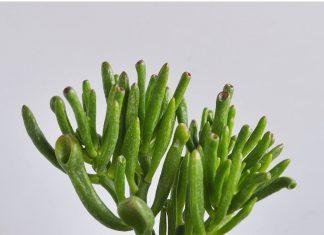 Κρασούλα, φυτό, Ν.Αφρική,