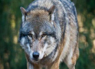 ΑΝΕΚΔΟΤΟ: O πατέρας μου ήταν λύκος και η μητέρα μου σκύλα !