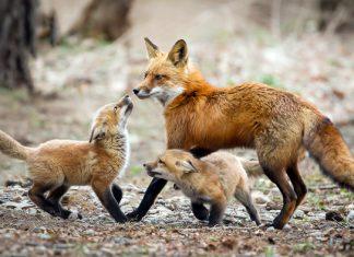 αλεπού, αλεπουδάκι, Διάσωση,