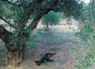 Κρήτη: Αποτρόπαια πράξη - Κρέμασαν σκύλο σε δέντρο