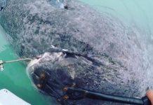 Καρχαρίας ετών…512!