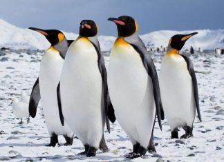 ΚΑΝΑΔΑΣ: Από το πολύ κρύο ακόμη και οι πιγκουίνοι έκαναν Πρωτοχρονιά σε… καταφύγιο