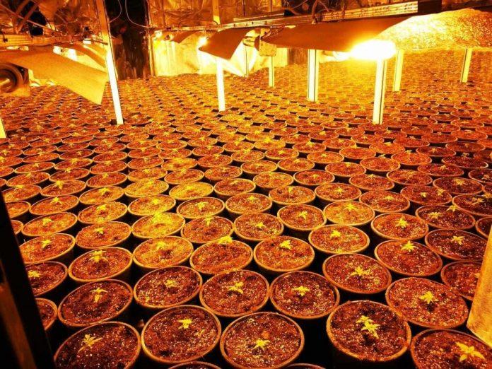 Αττική: Σπείρα καλλιεργούσε κάνναβη σε βίλες με πάνω από 4 εκατ. ευρώ κέρδη