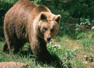 Τρίκαλα: Γυναίκα βοσκός ήρθε πρόσωπο με πρόσωπο με αρκούδα