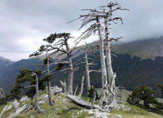 Αυτό είναι το αρχαιότερο ζωντανό δέντρο της Ευρώπης