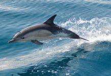 Χανιά: Δελφίνι παγιδεύτηκε σε παραλία