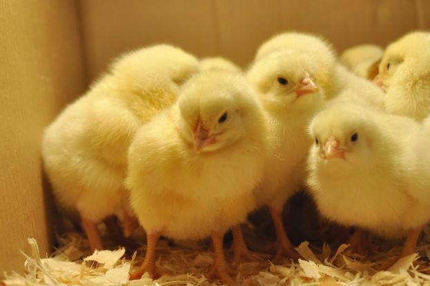 Μακελειό: Θανάτωσαν με αέρια 20.000 κοτόπουλα