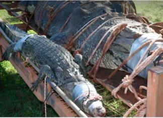 ΑΥΣΤΡΑΛΙΑ: Πιάστηκε κροκόδειλος – τέρας 600 κιλών