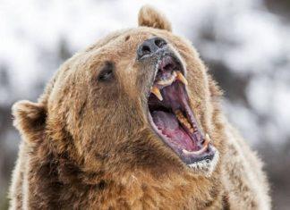 Καστοριά: Νεκρή αρκούδα, βάρους 390 κιλά, από τροχαίο