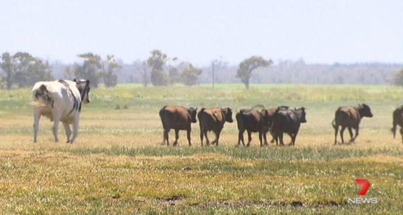 Αγελάδα γίγαντας κόβει βόλτες μαζί με το υπόλοιπο κοπάδι