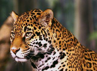 Αττικό Ζωολογικό Πάρκο: ΣΟΚ - Σκότωσαν δύο τζάγκουαρ, που δραπέτευσαν την ώρα που βρίσκονταν μέσα επισκέπτες!