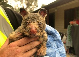 ΑΥΣΤΡΑΛΙΑ: Βοήθησαν πάνω από 90.000 ζώα