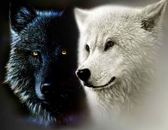 Οι δυο λύκοι της ψυχής μας!